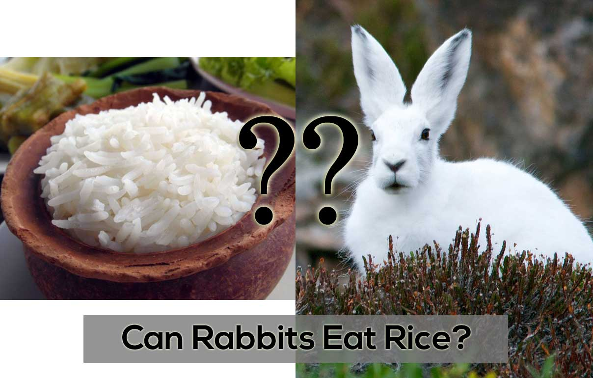 Can-Rabbits-Eat-Rice