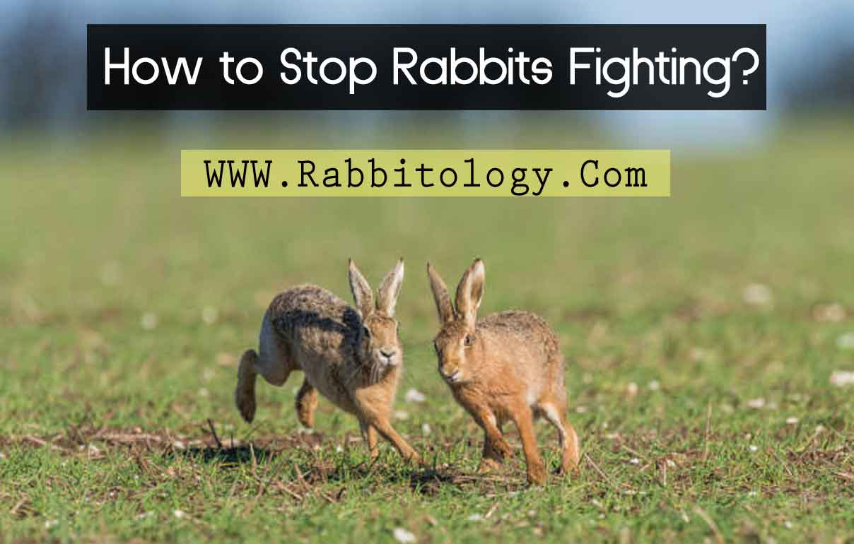 How-to-Stop-Rabbits-Fighting