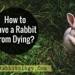 How-to-Save-a-Rabbit-From-Dying