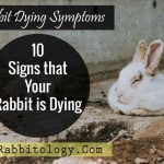Rabbit-Dying-Symptoms