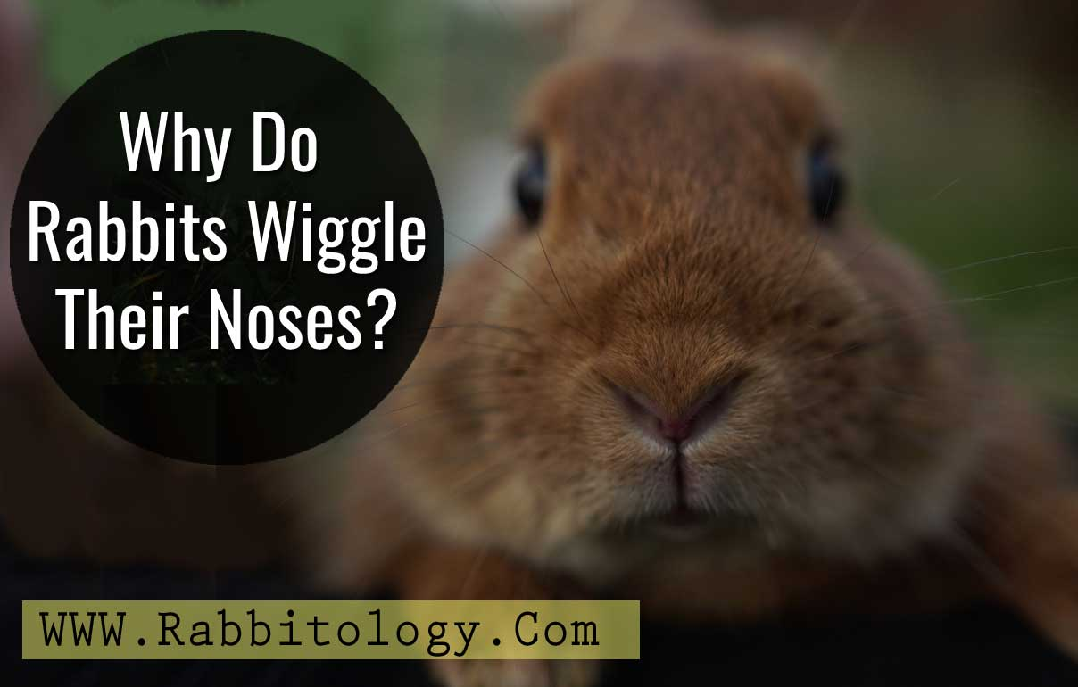 Why-Do-Rabbits-Wiggle-Their-Noses
