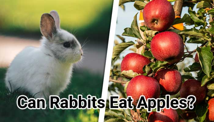 Can-Rabbits-Eat-Apples