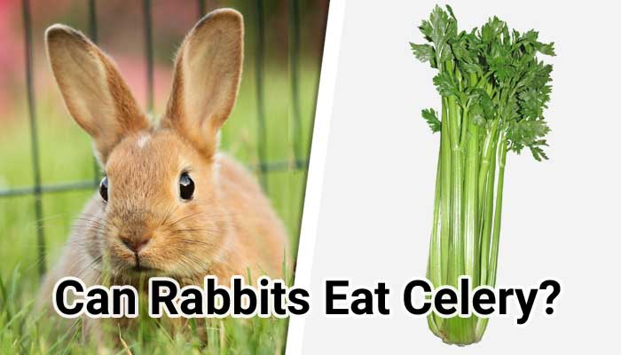 Can-Rabbits-Eat-Celery