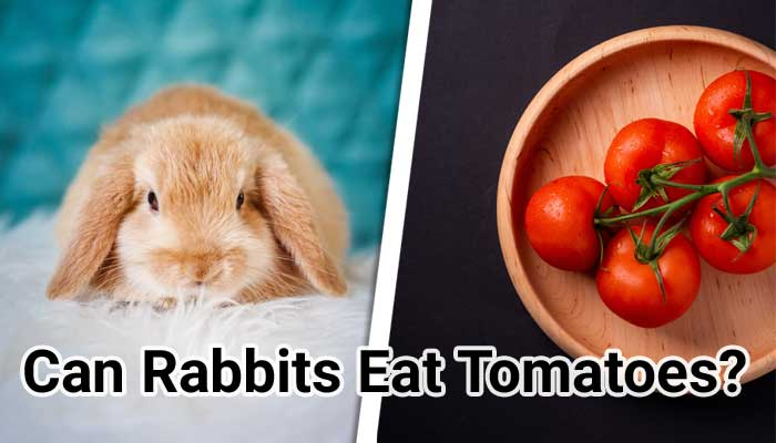 Can-Rabbits-Eat-Tomatoes