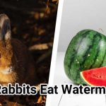 Can-Rabbits-Eat-Watermelon