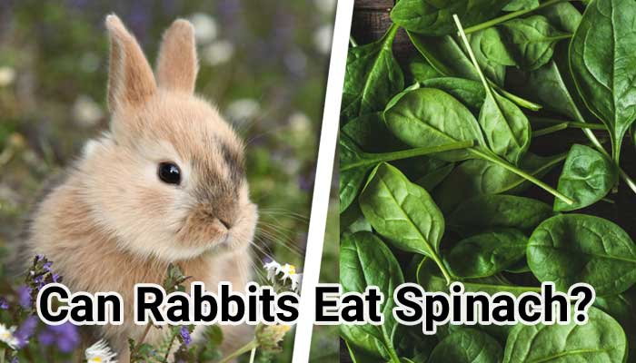 Can-Rabbits-Eat-Spinach